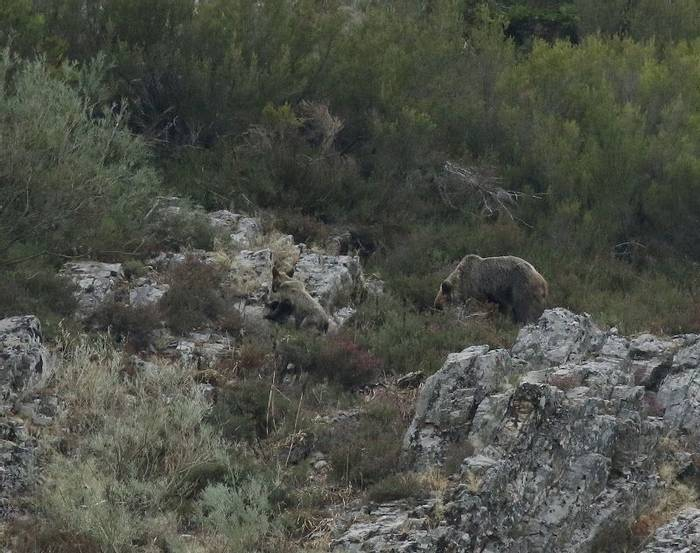 Female Brown Bear with cub