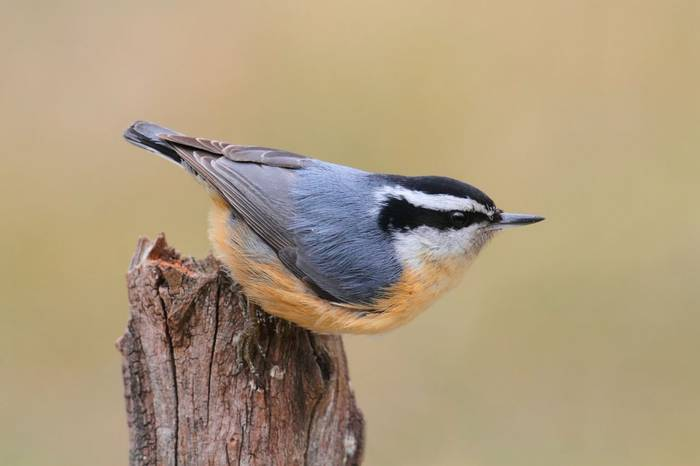 Red-breasted Nuthatch. shutterstock_138251396.jpg