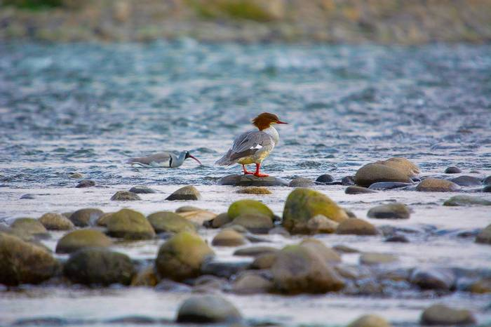 Ibisbill and Goosander, Nameri National Park shutterstock_1007910265.jpg