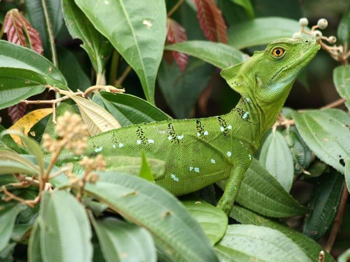 Green Basilisk, Costa Rica Shutterstock 15341326
