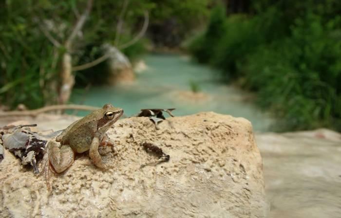 Greek Stream Frog (Rana graeca) - Bobby Bok