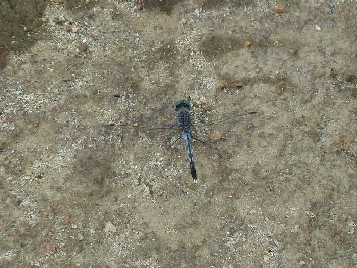 Ground Skimmer, Diplacodes trivialis (Steve Dutmer)