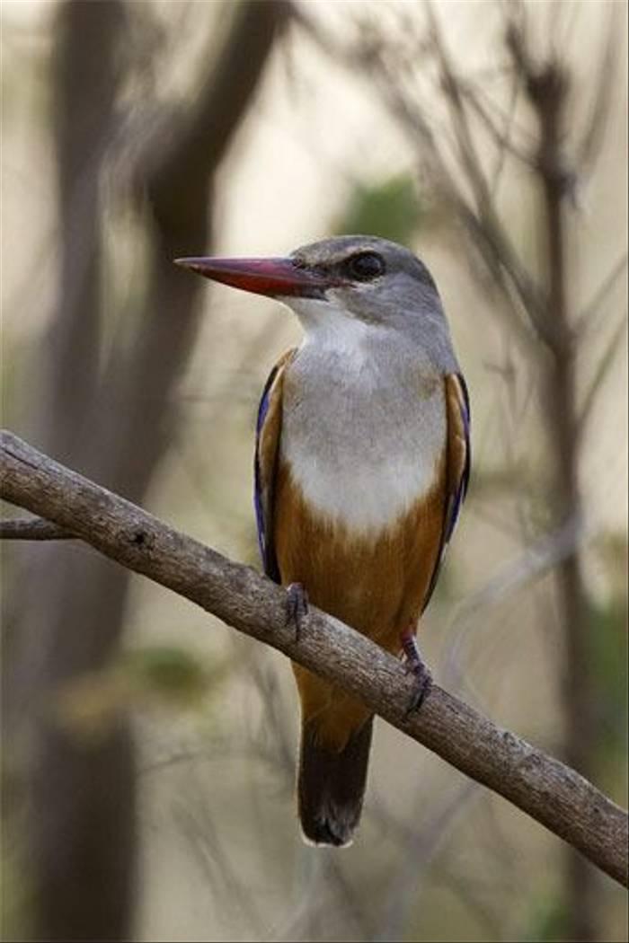 Grey-headed Kingfisher (Leon Marais)