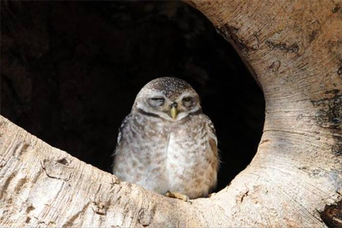 Spotted Owlet (Peter Johnson)