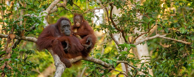 RESIZED orangutan-3985939.jpg