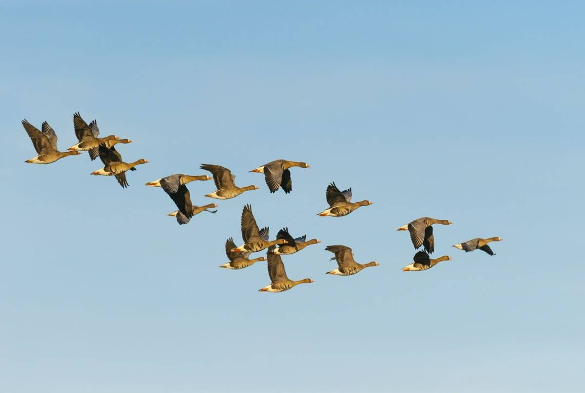 Greater White-fronted Geese Shutterstock 476828671
