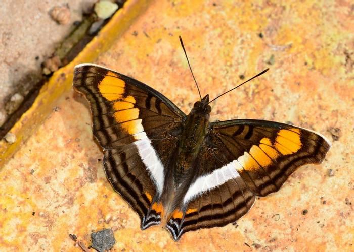 Linda Emperor Butterfly (Stephen Woodham)