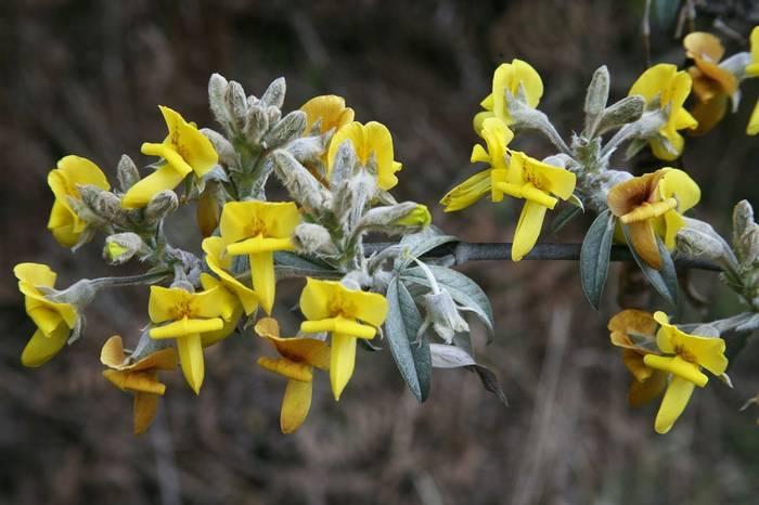 Piptanthus-lanuginosus-(David-Tattersfield).jpg