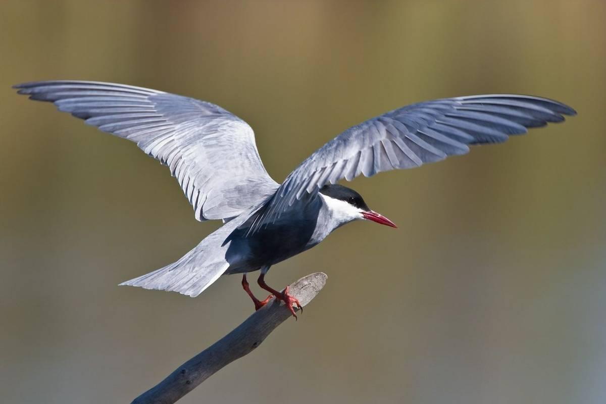 Whiskered Tern Shutterstock 16698481