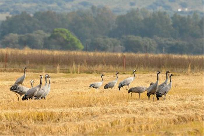 Common Cranes (David Morris)