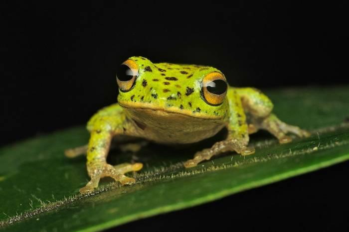 Golden Eyed Shrub Frog (Pseudophilautus ocularis), Sri Lanka