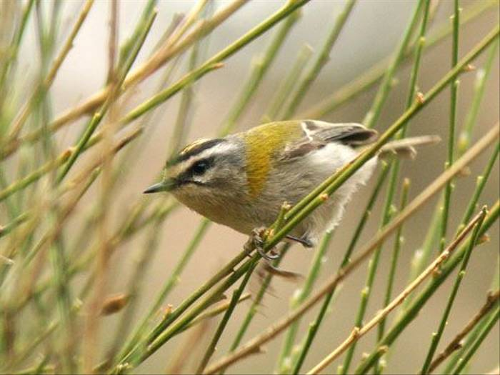 Firecrest (Simon Woolley)