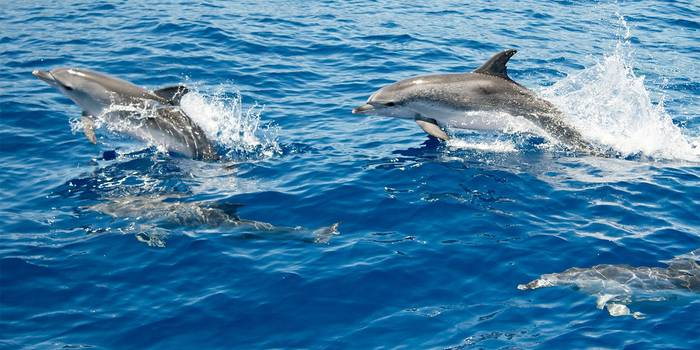 Atlantic-Spotted-Dolphins,-Azores-shutterstock_463179536.jpg