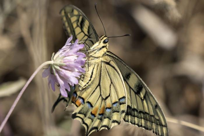 Swallowtail, Colin Brown