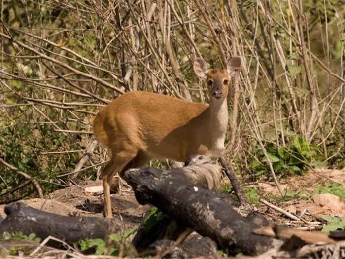 Little Brocket Deer (Mike Galtry)