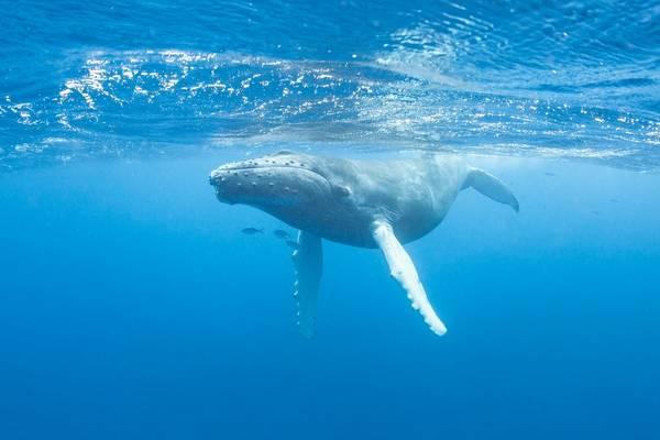 Humpback Whale, Caribbean Shutterstock 167935121
