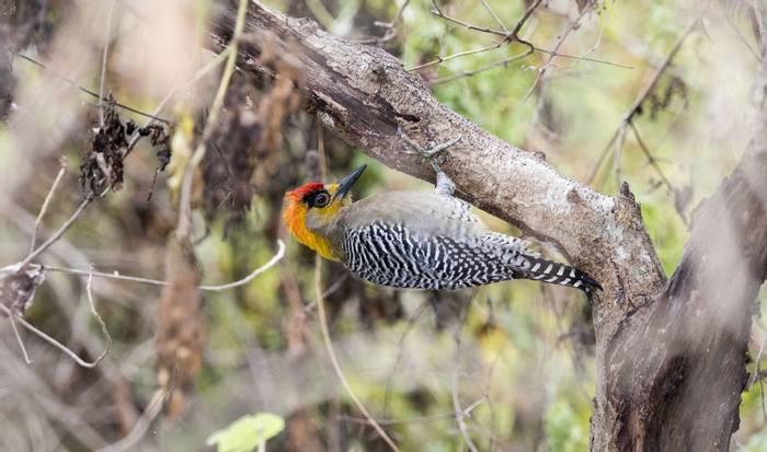 Golden-headed Woodpecker, Mexico shutterstock_574619953.jpg