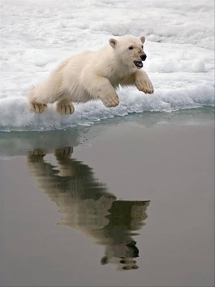 Polar Bear (Paul Stanbury)