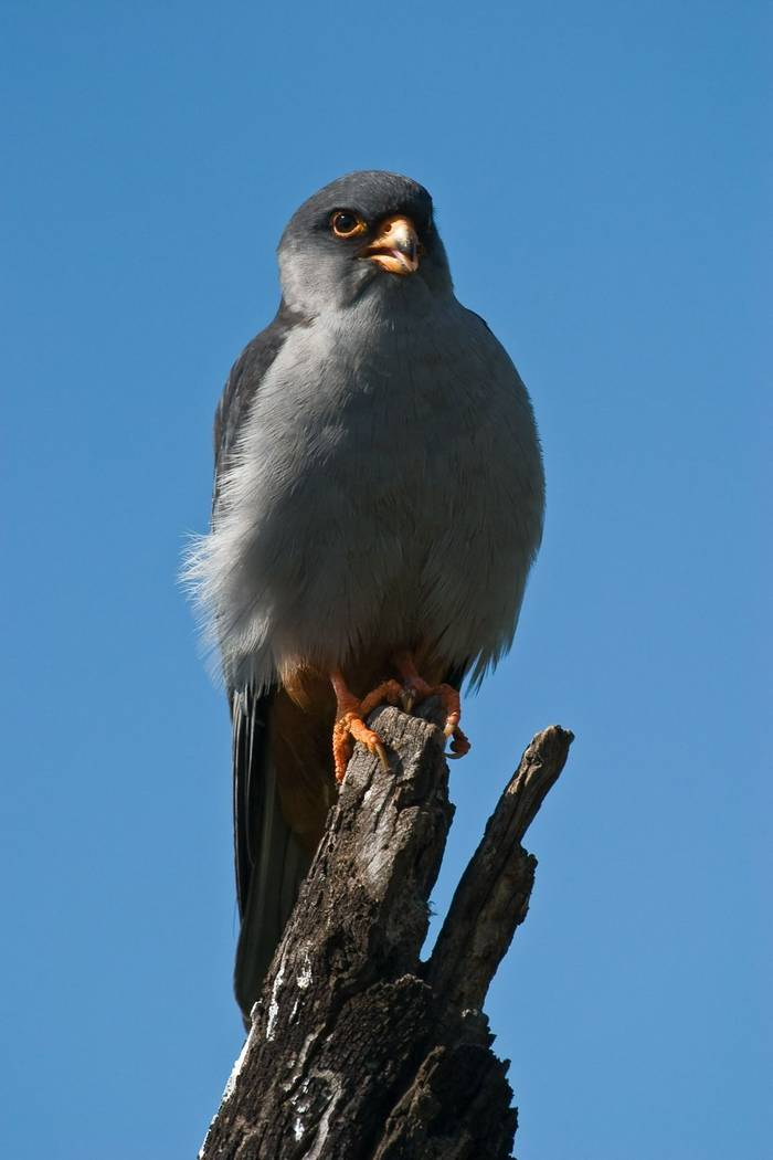 Amur Falcon (male)