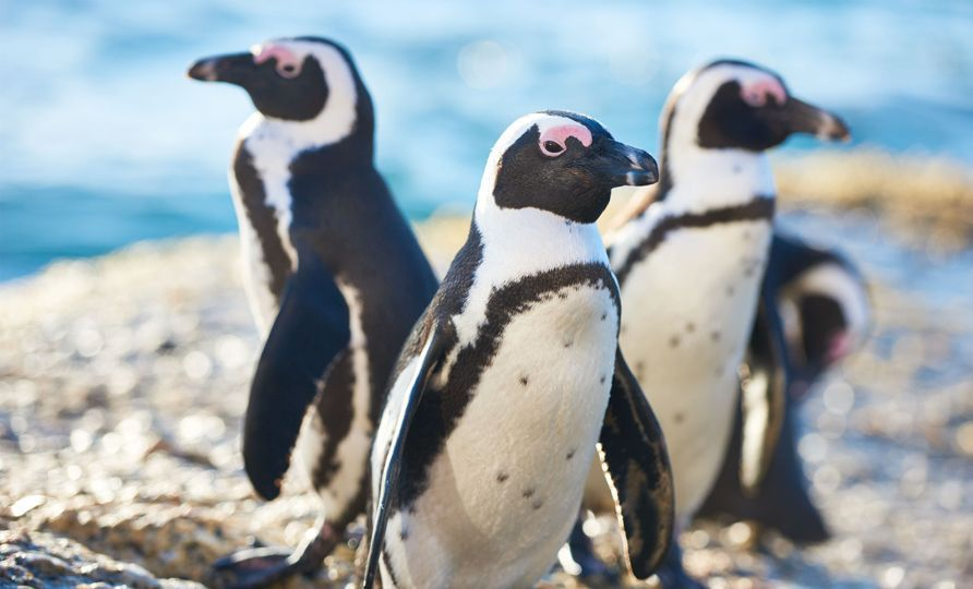 Cape Town - Boulders Beach penguins.jpg