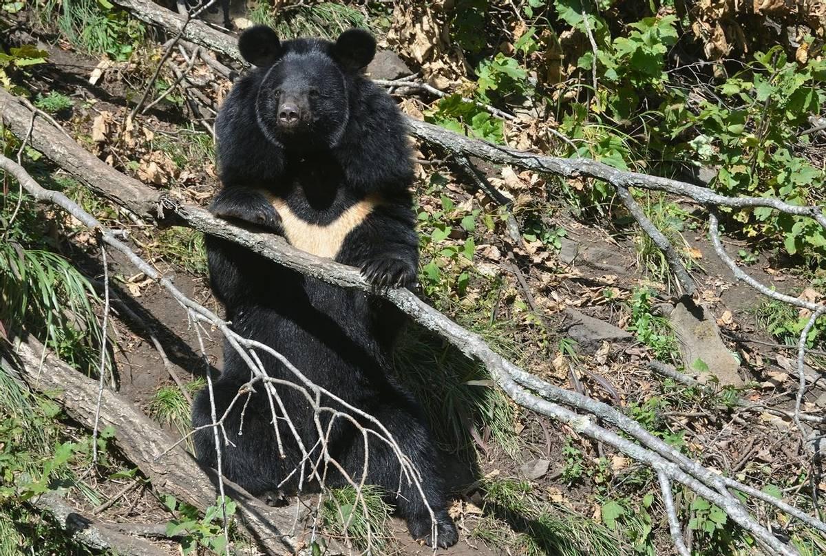 Asiatic Black Bear Shutterstock 1085241845