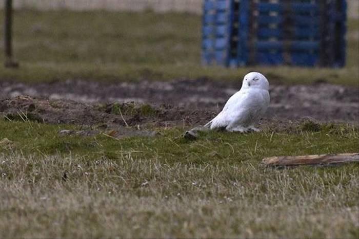 Snowy Owl (Derek Mills)