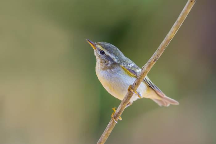 Yellow-browed Warbler · Phylloscopus inornatus