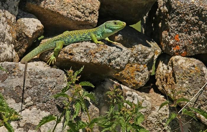 Ocellated Lizard (Timon lepidus),Portugal_shutterstock_570186847.jpg