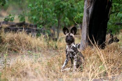 African Wild Dog by Grant Atkinson