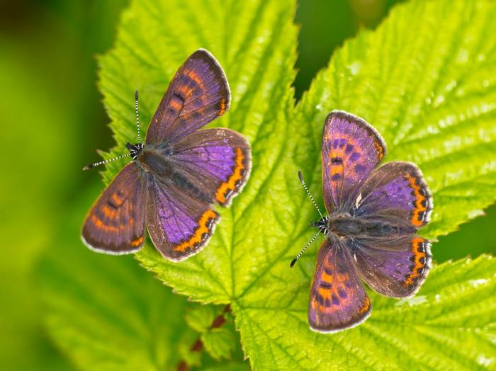 Poland Violet Coppers Shutterstock 492889165