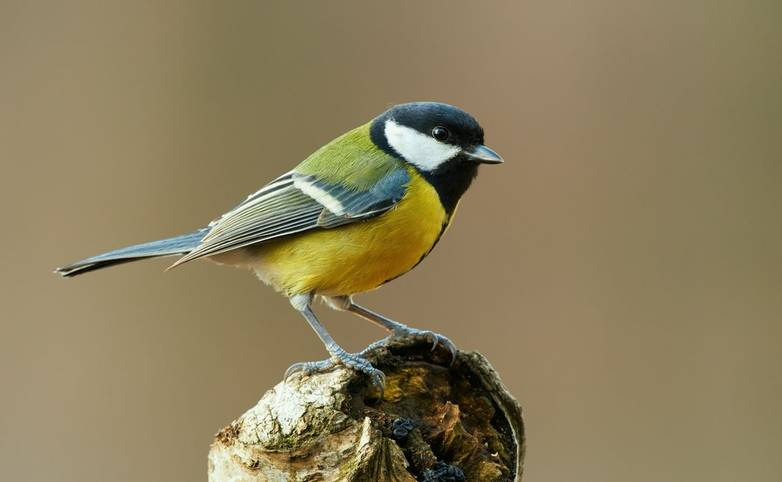 Colorful great tit (Parus major) perched on a tree trunk, photographed in horizontal