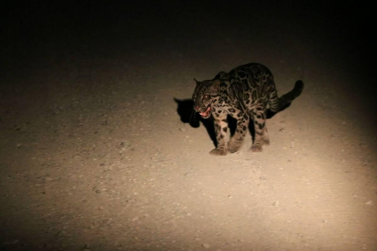 Bornean Clouded Leopard (Jackie Lover)