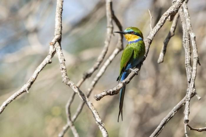 , , Gambia 4 March 2019Swallow-tailed Bee Eater, Makasutu Forest, Gambia 4 March 2019