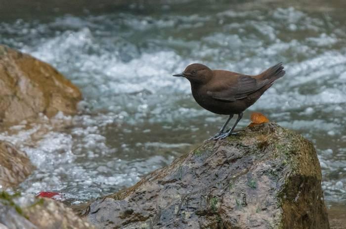 Pallas'S Brown Dipper (Tim Melling)