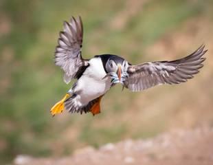 Northumberland - Seabirds & Castles (Wildlife Photography)