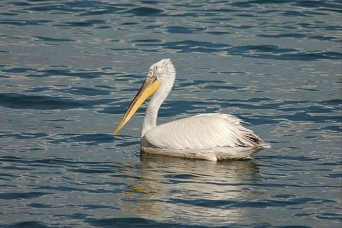 Dalmation Pelican (David Morris)