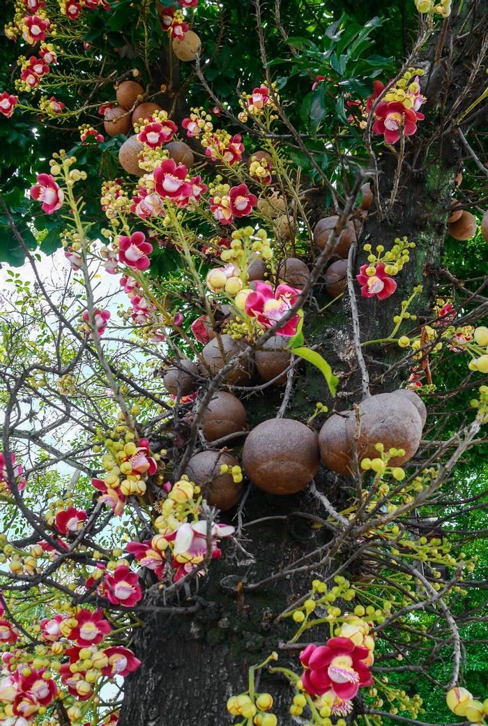 Cannonball tree flowers, Sri Lanka shutterstock_630856259.jpg
