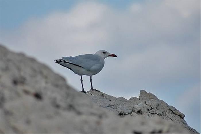 Audouin's Gull (David Morris)