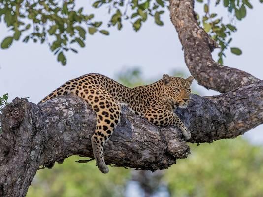 Leopard, Zambia (cropped) shutterstock_1011296299.jpg