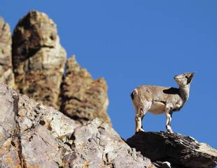 Ladakh - Birds & Mammals of the Tibetan Plateau