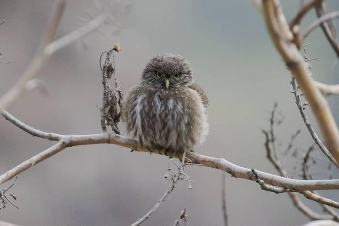 Peruvian Pygmy Owl