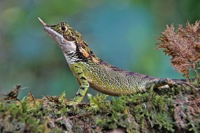 Rhino-horned Lizard (Ceratophora stoddartii)