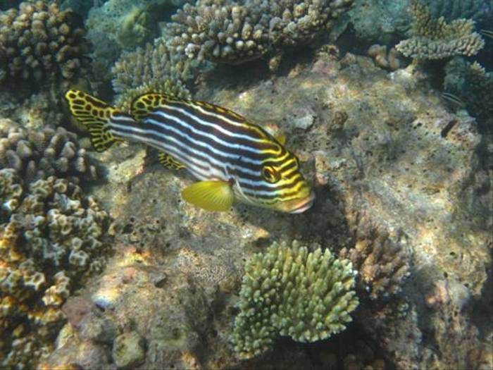 Oriental Sweetlips (Brian W Jones)