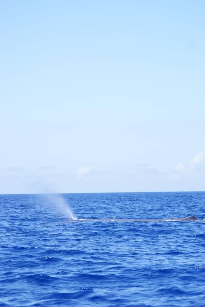 Sperm Whale (Ed Drewitt)