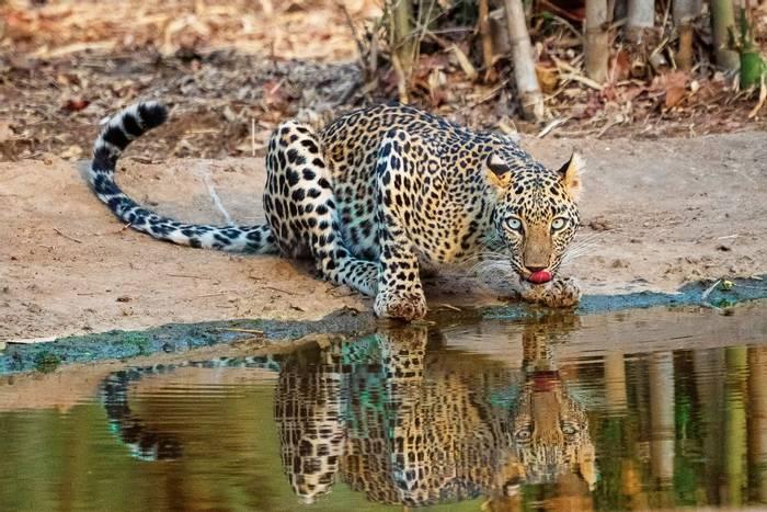 Leopard, Sri Lanka shutterstock_1525423841.jpg