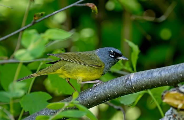 MacGillivray's Warbler, Canada shutterstock_1296646435.jpg