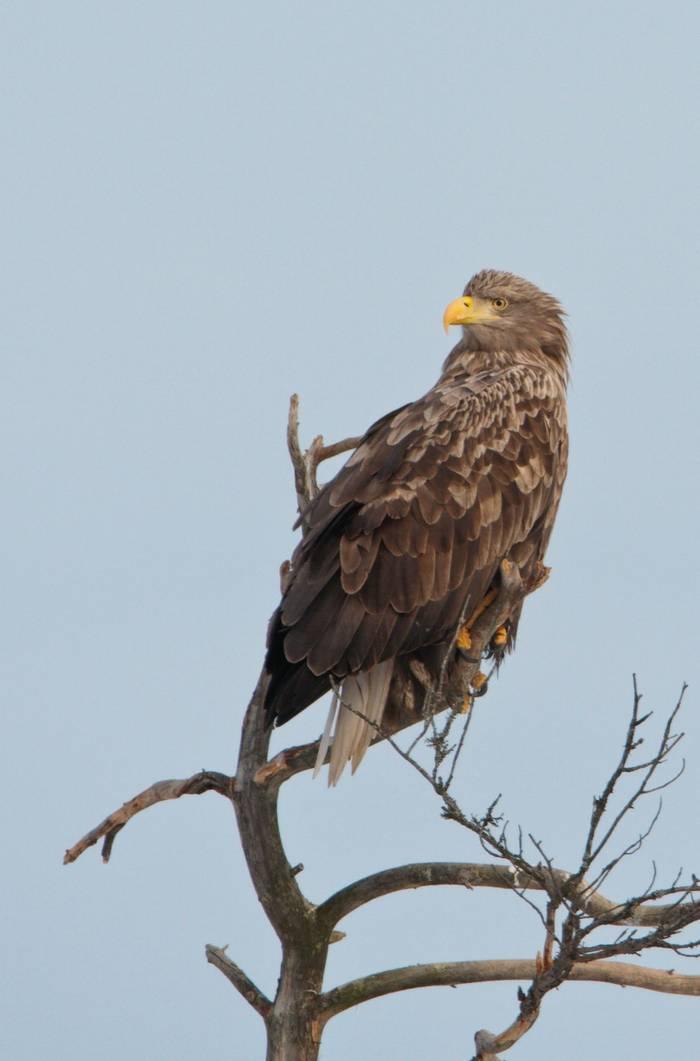 White-tailed Eagle (Mati Kose)