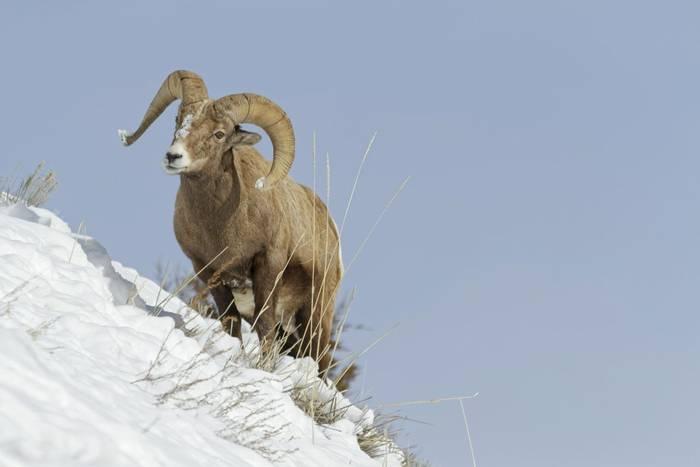 Bighorn Sheep, Yellowstone shutterstock_570908206.jpg