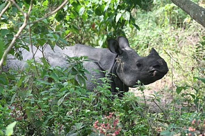 Indian One-horned Rhinoceros (Julian Thomas)
