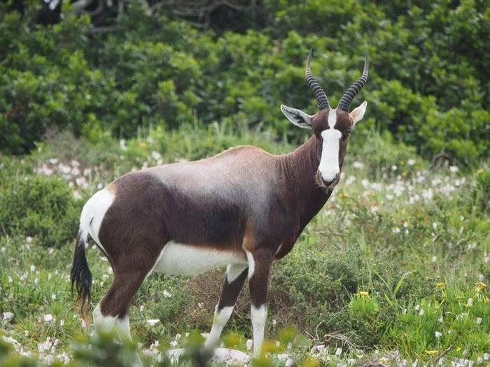 Bontebok (Damaliscus Dorcas Dorcas) (Lance Tuckett)
